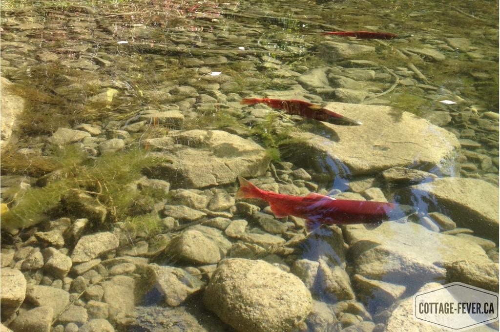 Kokanee salmon fish fall autumn