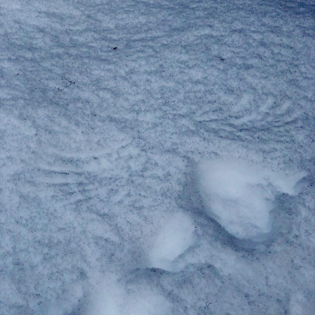 owl print in snow
